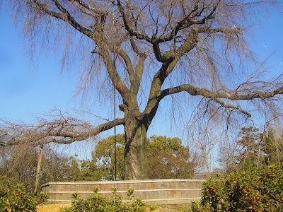 京都市東山区円山公園 冬のしだれ桜