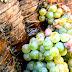 Vineyard Hopping - Casal Di Principe (Ce) - Az. Agrituristica Arbustum