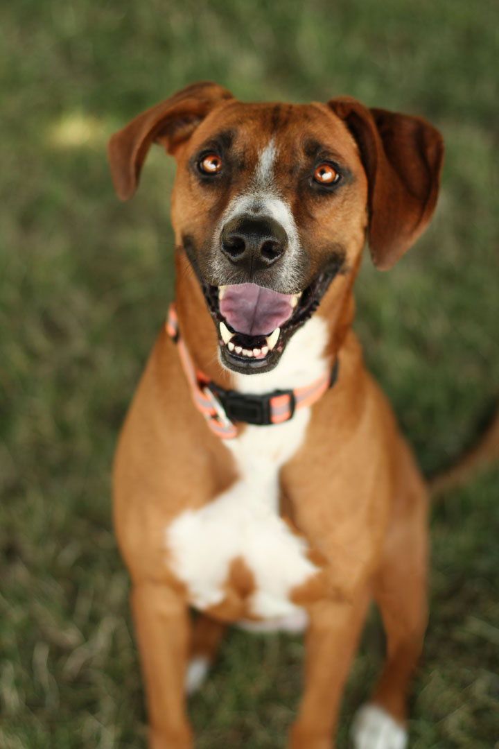 Rhodesian Ridgeback Boxer Beagle Mix Images & Pictures - Becuo