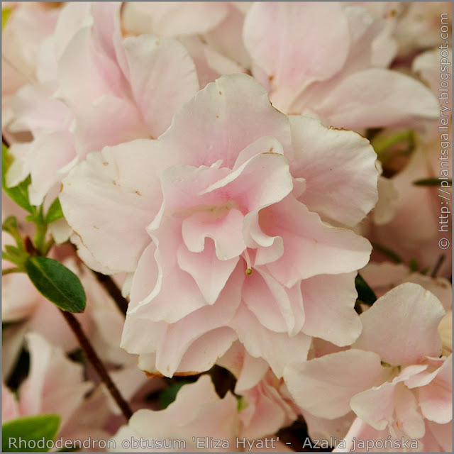 Rhododendron obtusum 'Eliza Hyatt' -  Azalia japońska  'Eliza Hyatt' kwiat