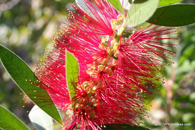 Callistemon Citrinus (Crimson Bottlebrush) flower