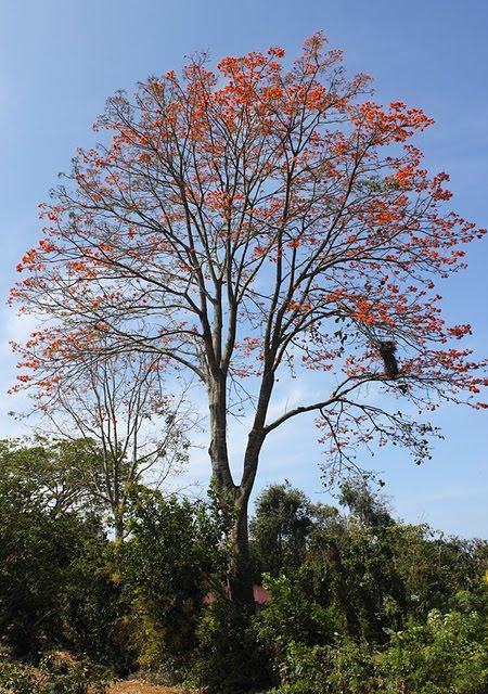 cat] | Bucares y Apamates, árboles monumentales del Trópico. Juan