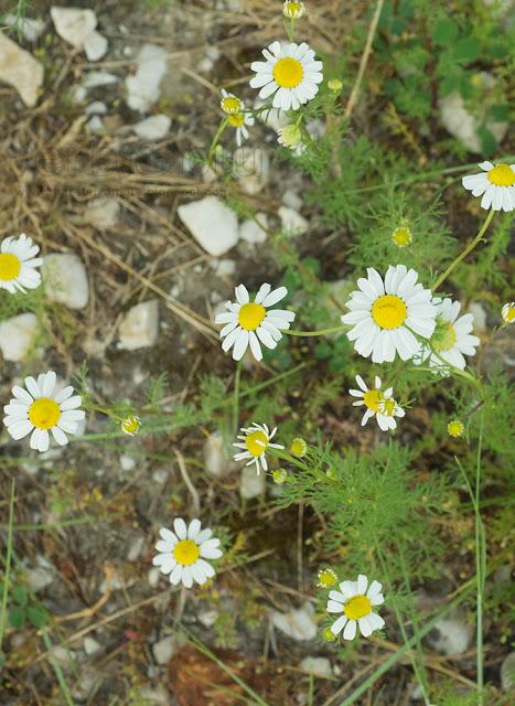 camomilla - Chamaemelum nobile