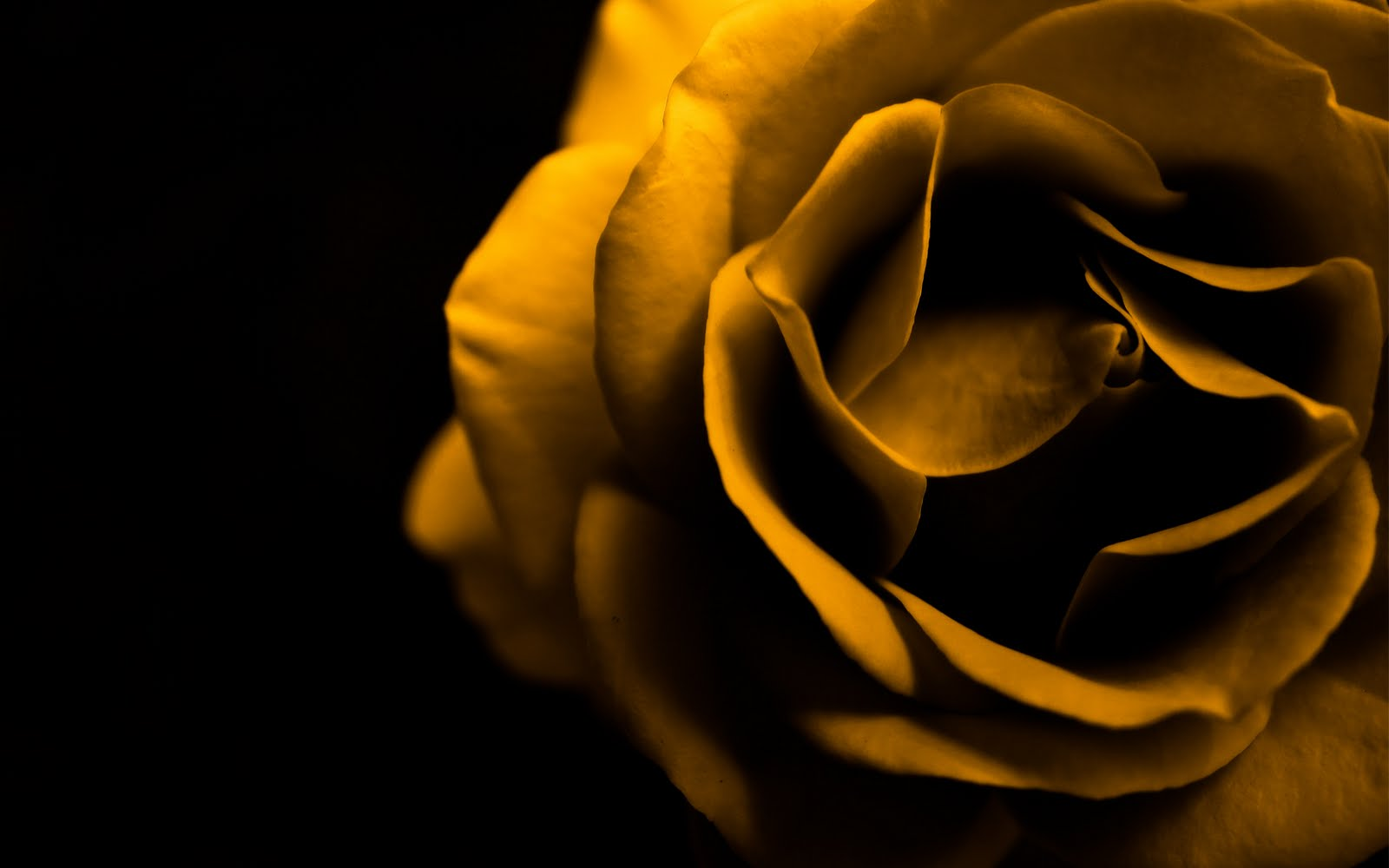 Yellow Wallpaper: Yellow Rose HD Wallpaper Download Free