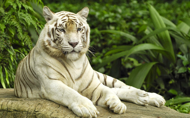13213-White Tiger Animal HD Wallpaperz