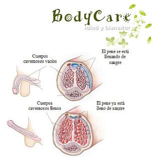 Anatomía del pene - Mecanismo de erección