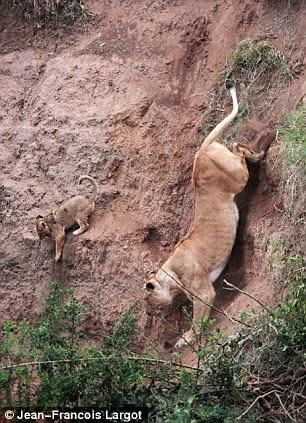 leona salva a su chachorro
