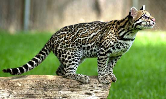245164773441417029 likewise G 6lqatihrf70ea4bl9jurqa0 also Harpsealprintout moreover Clipart Wolf 6 as well Small  pass Tattoo. on cute jaguar animal body diagram