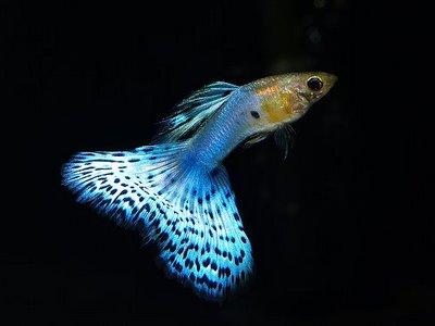 Čudesno lepe ribice Guppy+bleu