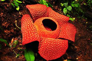 Persebaran flora di indonesia bagian barat, tengah, dan timur