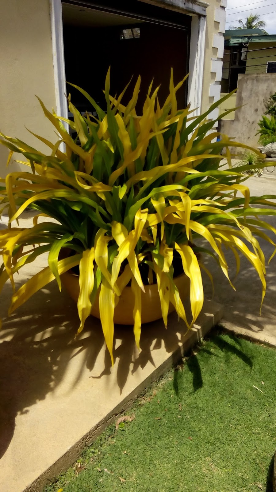 Precious plants trinidad the golden spider lily a lily is a bulbous plant with a large trumpet shaped typically fragrant flowers on a tall slender stem this plant hardly fits the description of a lily izmirmasajfo