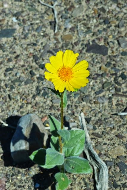 Desert Sunflower Geraea canescens_1330