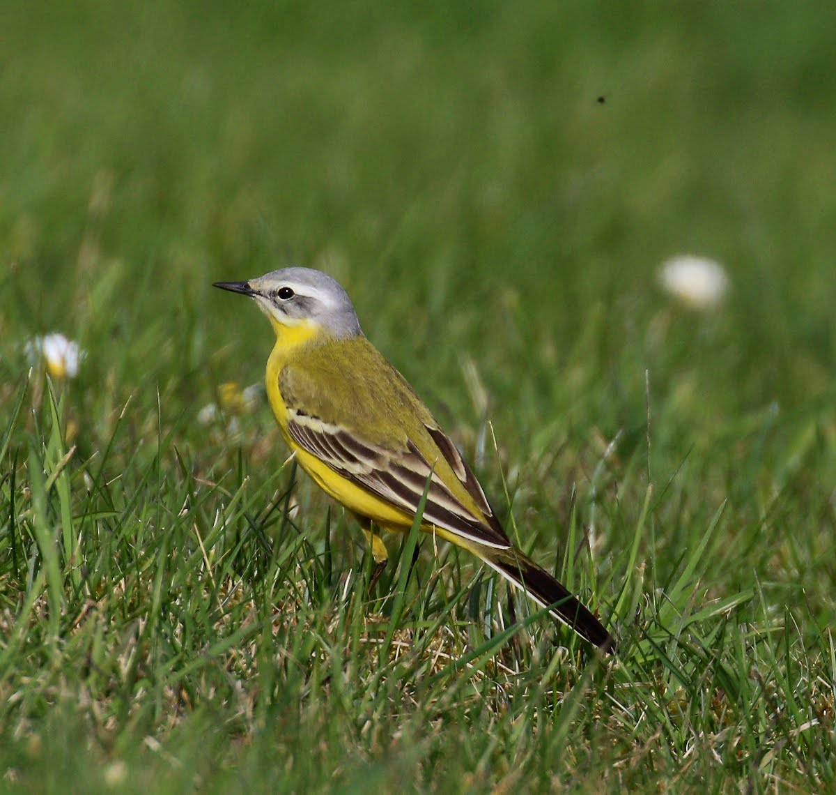 Channel Wagtail