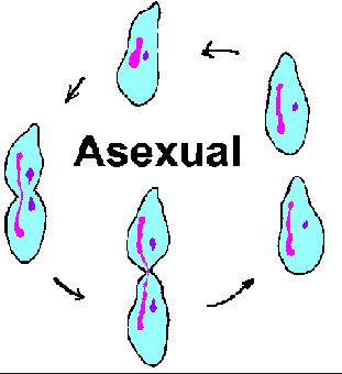 The gallery for --> Asexual Reproduction In Plants Fission