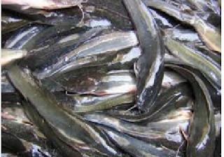 Cara Budidaya Dan Ternak Ikan Lele Terlengkap