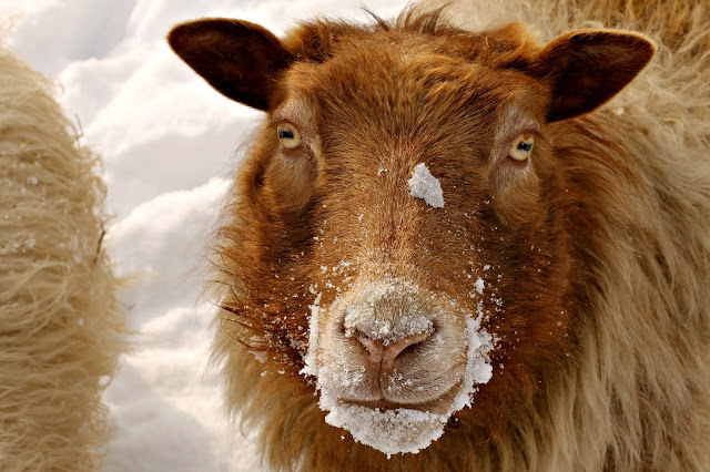 Berrit our Icelandic ewe and her snowmo