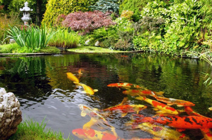 Koi pond cleaning koi fish care info for Japanese koi pond garden design