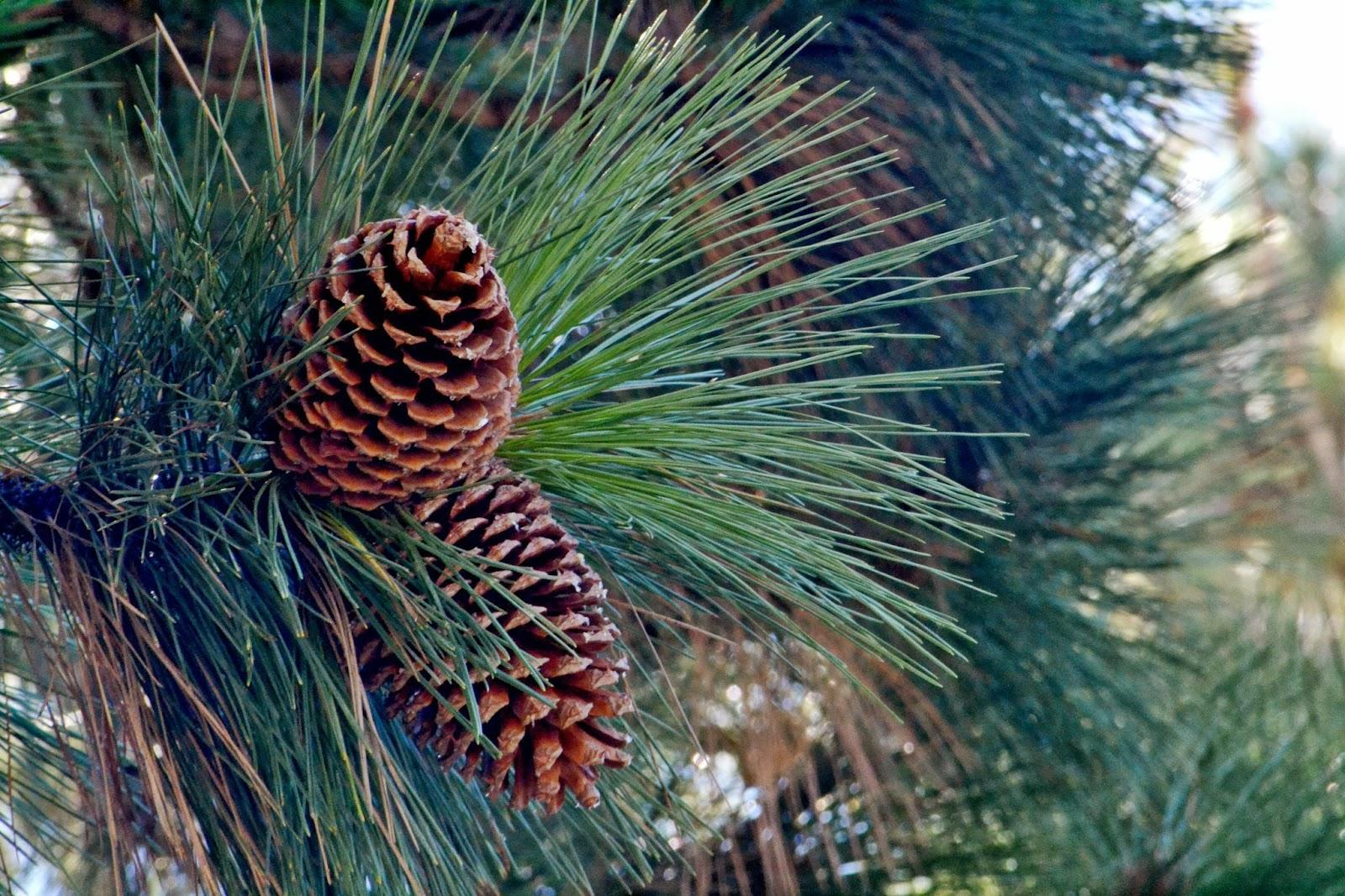 Long weekend south lake tahoe fleur d 39 elise long for Long pine cones