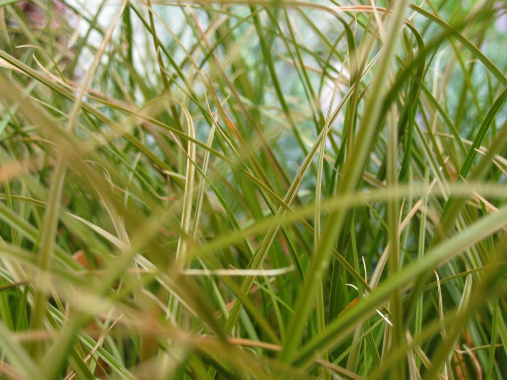 Ornamental grasses sloat garden center for Names of ornamental grasses