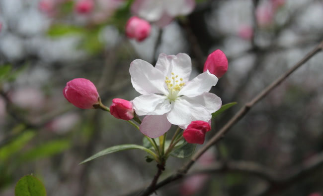 Crabapple Flowers Pictures