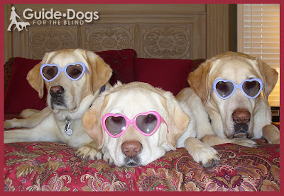 Three Labrador Retrievers wear heart-shaped glasses for Valentine's Day