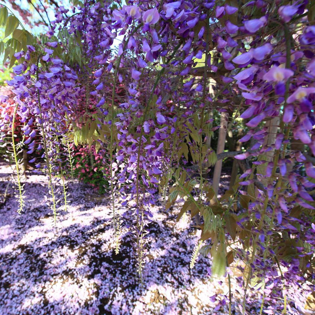 Для любования цветами сад асикага