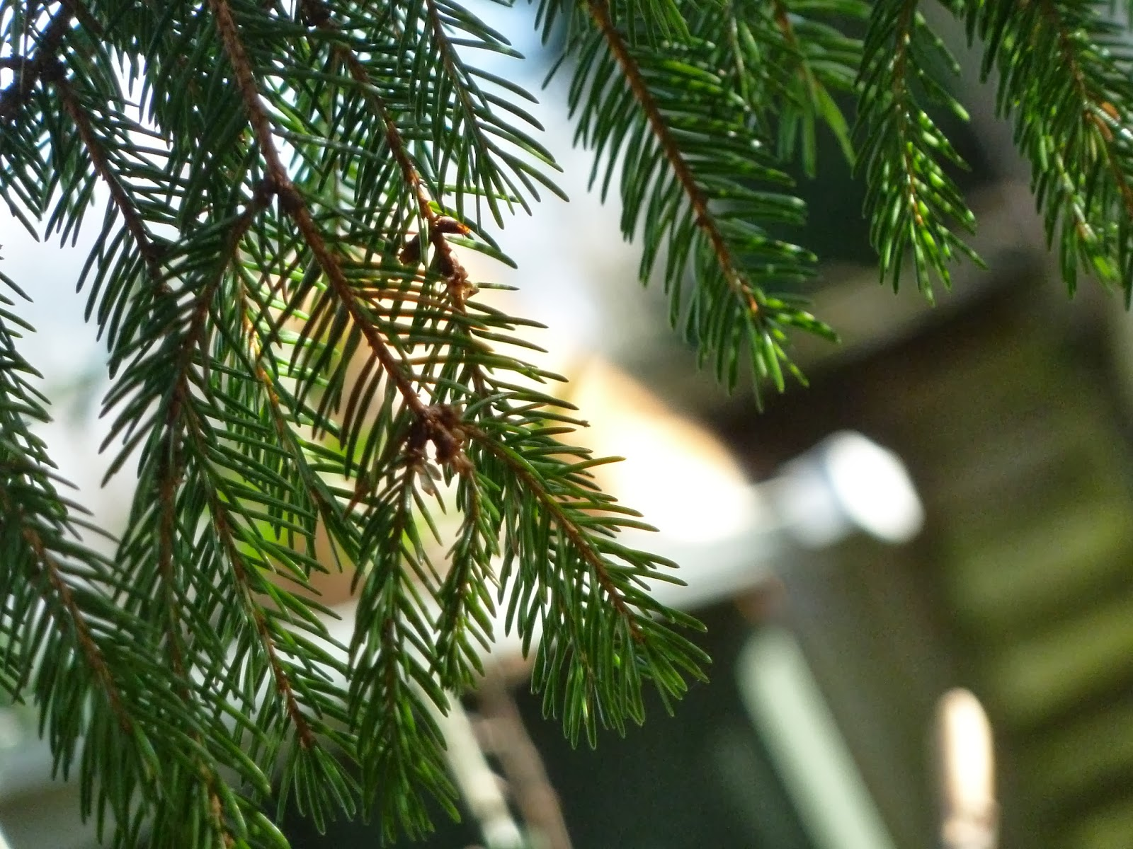 Through fir fronds