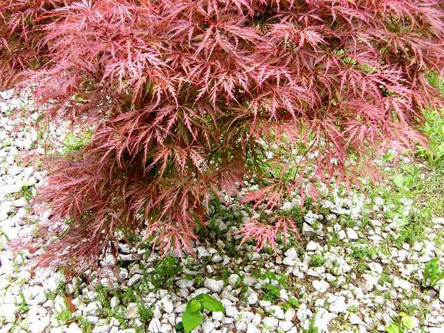 The Japanese maple has
