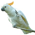 Cockatoo Parrot's Png Images