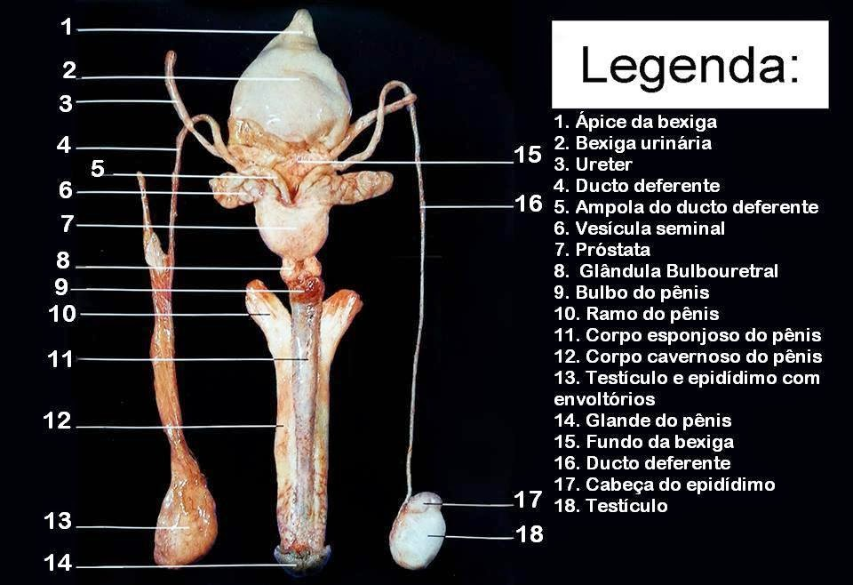 Anatomia Humana: Sistema Urinário e Genital Masculino/Feminino
