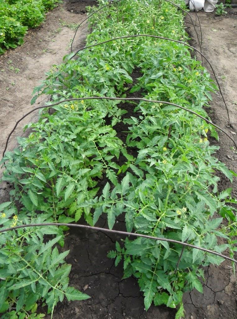 Детерминантные помидоры растут по два растения в лунке