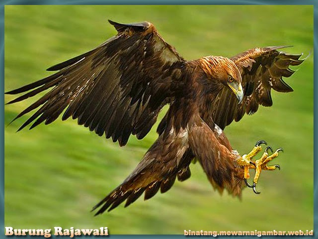 gambar burung rajawali