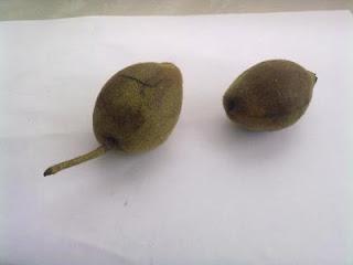 плоды ореха маньчжурского