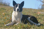 Meet The Alberta Canaan Dog Crew (Click on their pics to learn all about them)