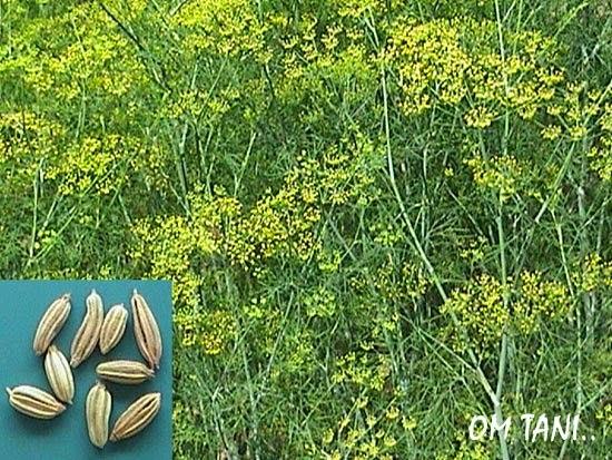 Tanaman Adas Foeniculum Vulgare Mill