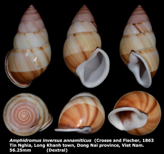 Amphidromus inversus annamiticus 56.25mm ((Dextral)