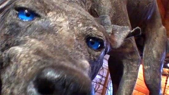 Chupa-cabra Bluedog do Texas empalhado 2