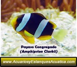acuarios-estanques-acuatica-pez-payaso-clarkii