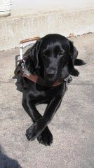black Lab in harness with paws crossed