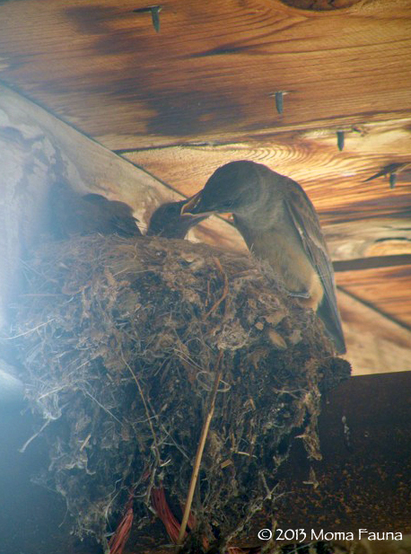 Feeding younglings, June 19th.