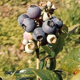 Blueberry for Sale
