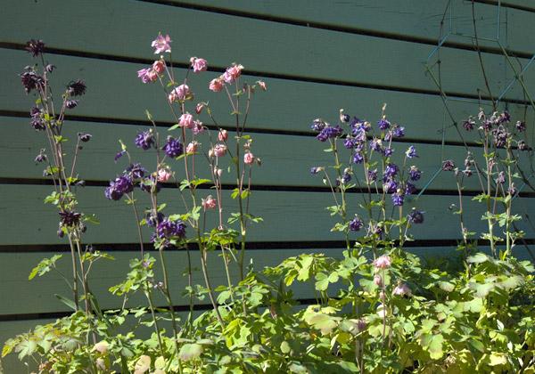 Lila och rosa akleja mot grått plank