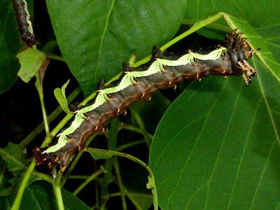 Citheronia beledonon caterpillar
