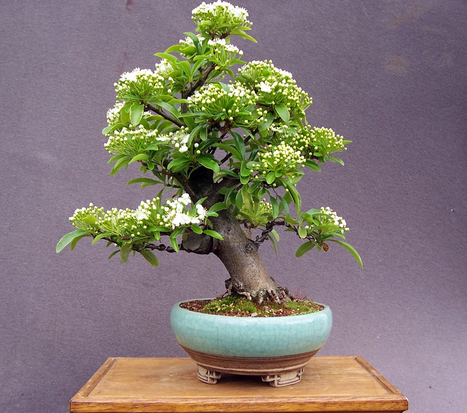 MiKo Bonsai June 2013
