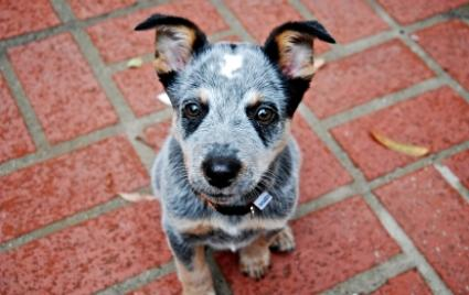 Blue Heeler Puppy Pictures are one of the best breed to adopt as a pet