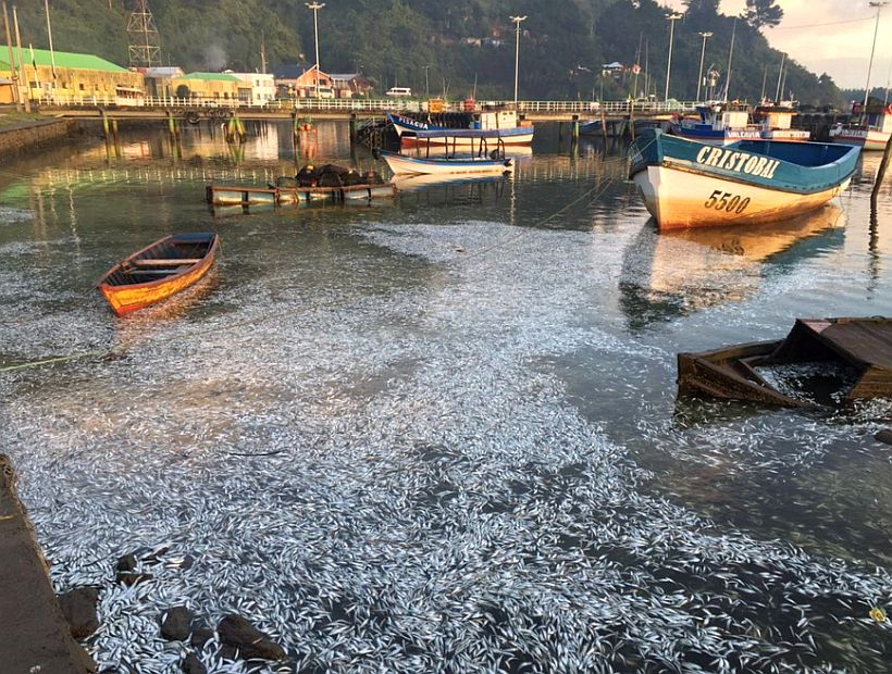 A further 3,000 tonnes of dead and rotting sardines have washed up on the banks of river Queule...