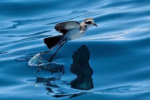 Indian bird - Pelagodroma marina