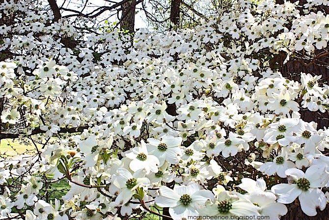 A blanket of dogwood blooms