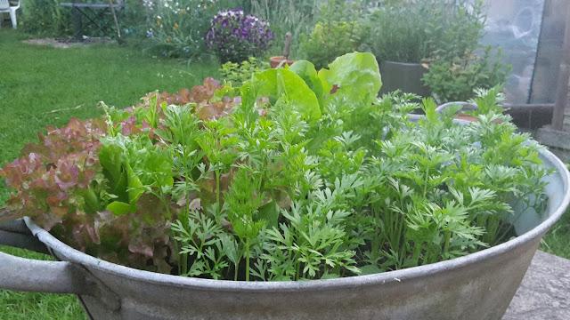 Project 365 2015 day 175 - Salad bath // 76sunflowers