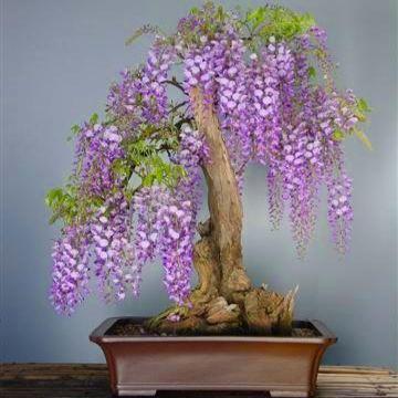 Bonsai fuyi glicinia wisteria cuidados verde jard n - Cuidado del bonsai ...